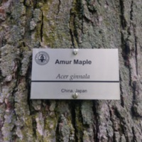 Amur Maple